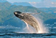 Impulsan cuidado y preservación de la ballena jorobada en el país