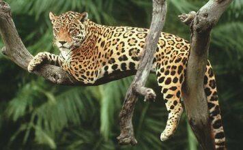 Impulsan cuidado y preservación del jaguar en el país
